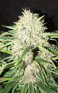 Mephisto Genetics Strawberry Nuggets Auto Feminised Seeds