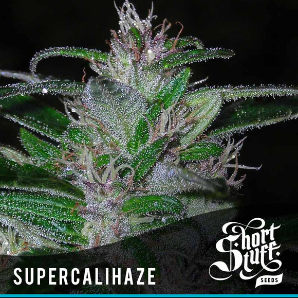 Short Stuff Super Cali Haze Autoflowering Feminised Seeds