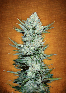 Fast Buds Tangie'matic AUTO Feminised Seeds