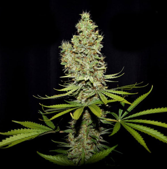 True Canna Genetics Terparella Feminised Seeds