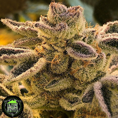 In House Genetics Terple Feminised Seeds