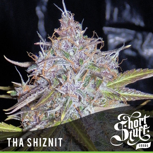 Short Stuff Tha Shiznit AUTO Feminised Seeds