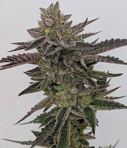 Humboldt Seed Co. The Bling Feminised Seeds