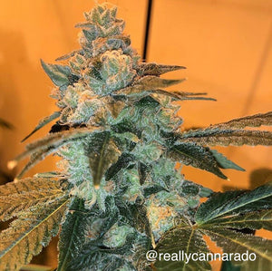 Cannarado Genetics TriFi Sundae Feminised Seeds