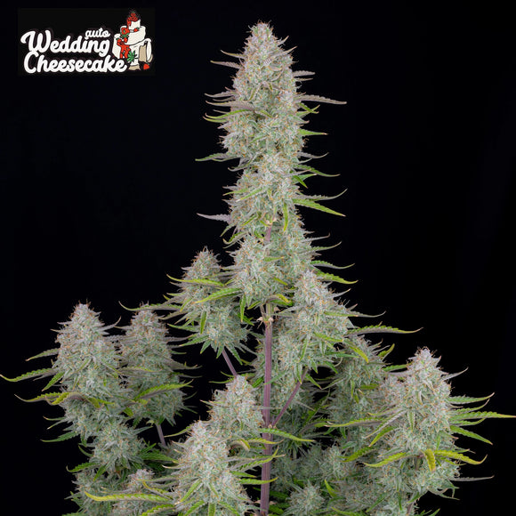 Fast Buds Wedding Cheesecake AUTO Feminised Seeds