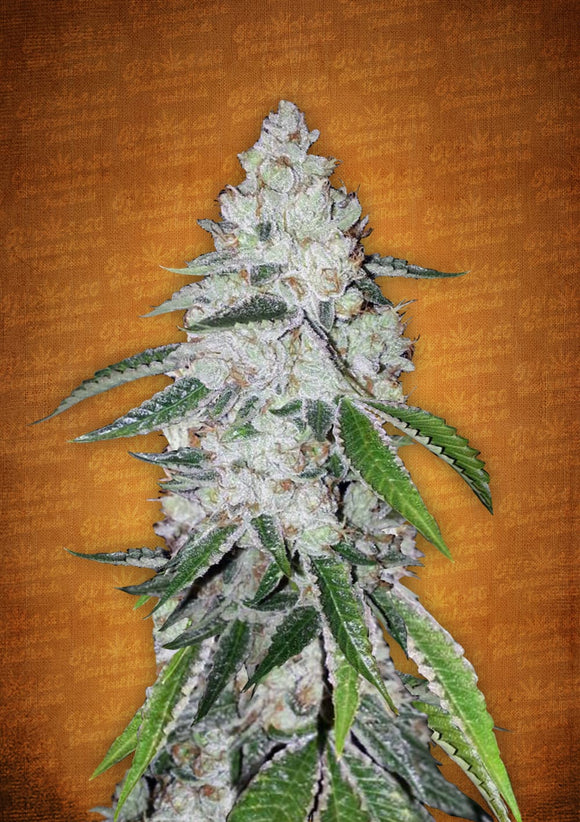 Fast Buds West Coast OG AUTO Feminised Seeds