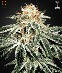 Greenhouse Seed Co. White Widow Feminised Seeds