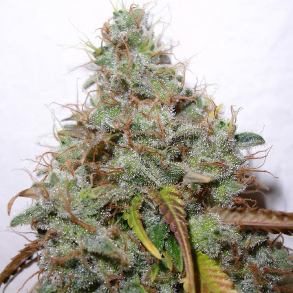 Paradise Seeds White Berry Feminised Cannabis Seeds