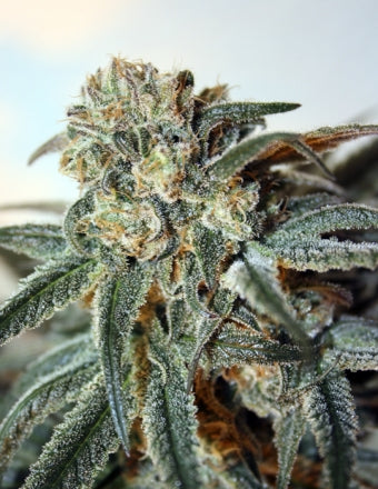 Ripper Seeds Zombie Kush Feminised Seeds