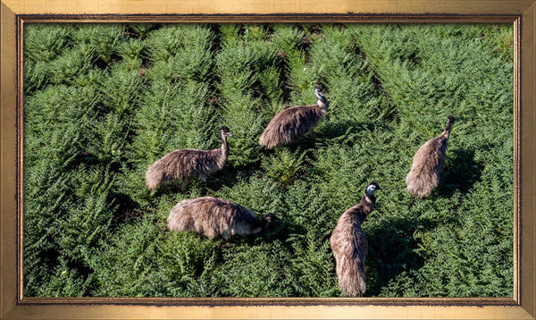 Emus in chickpeas