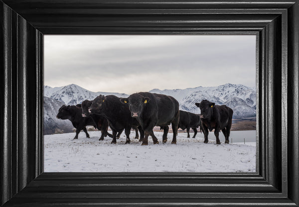 Feeding cattle in the snow