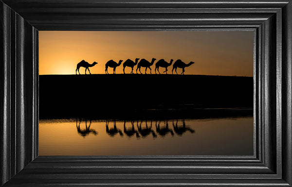 Camels in the wild 3