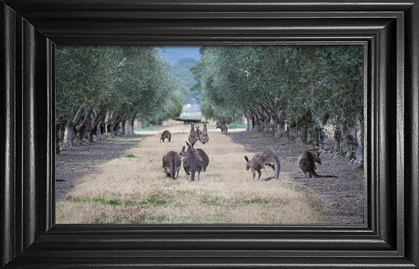 Kangaroos in the Olive grove
