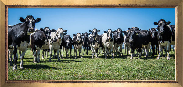 Peter Jennings Holsteins