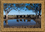 Angus cattle Coonamble