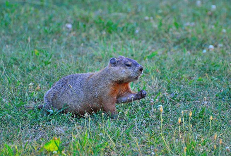 Keeping Out Groundhogs From Gardens