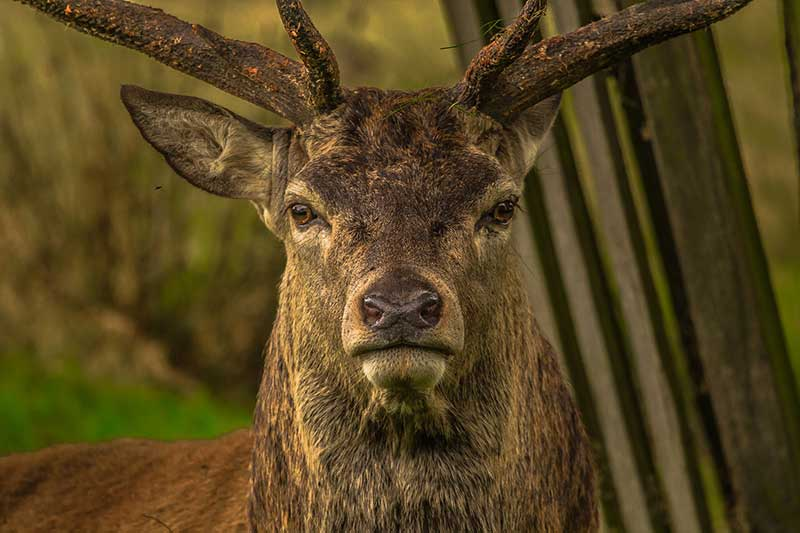 Surviving Deer Attacks
