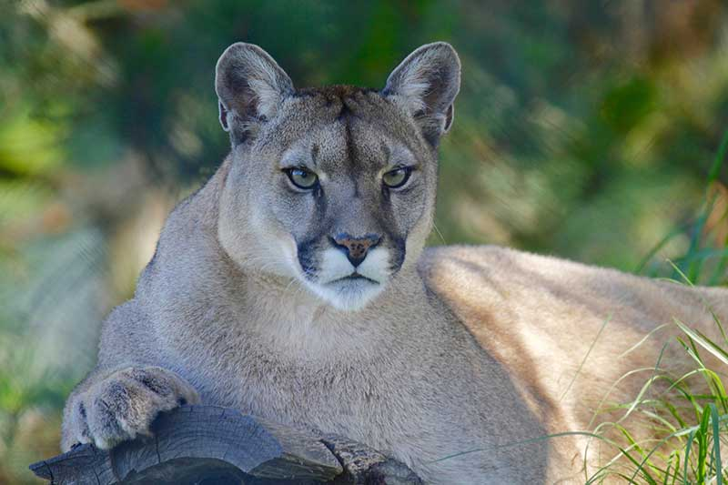 Mountain Lions Facts 101
