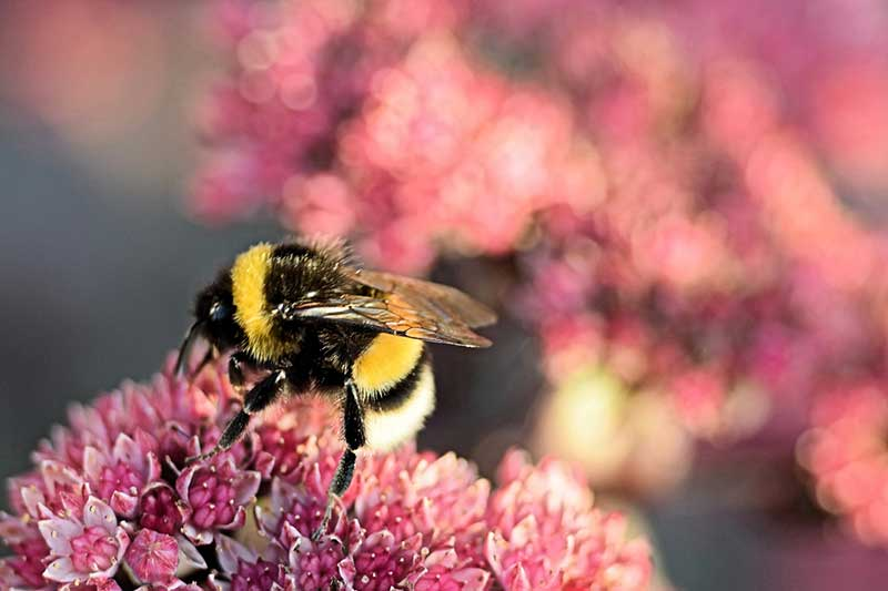 What We Know About Bumblebees