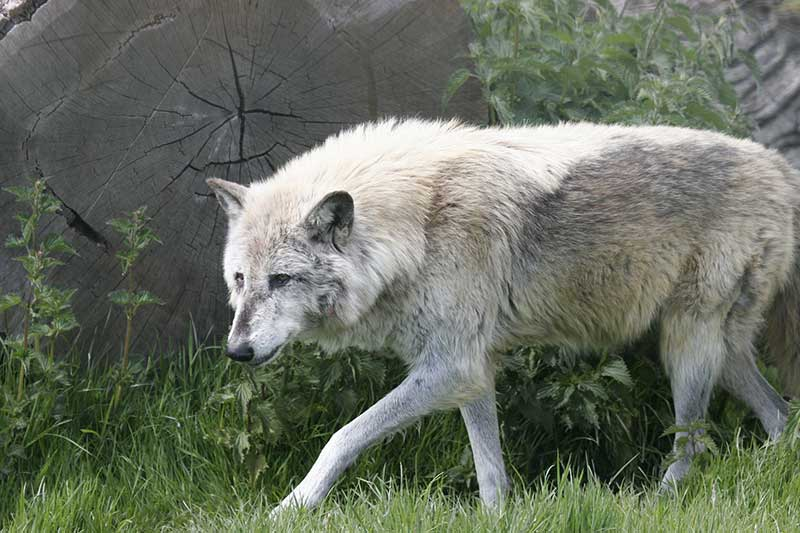Wolf Protection Coming To An End