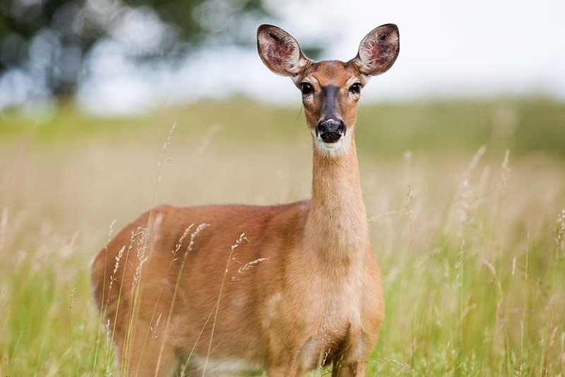 Kentucky Deer Found With EHD