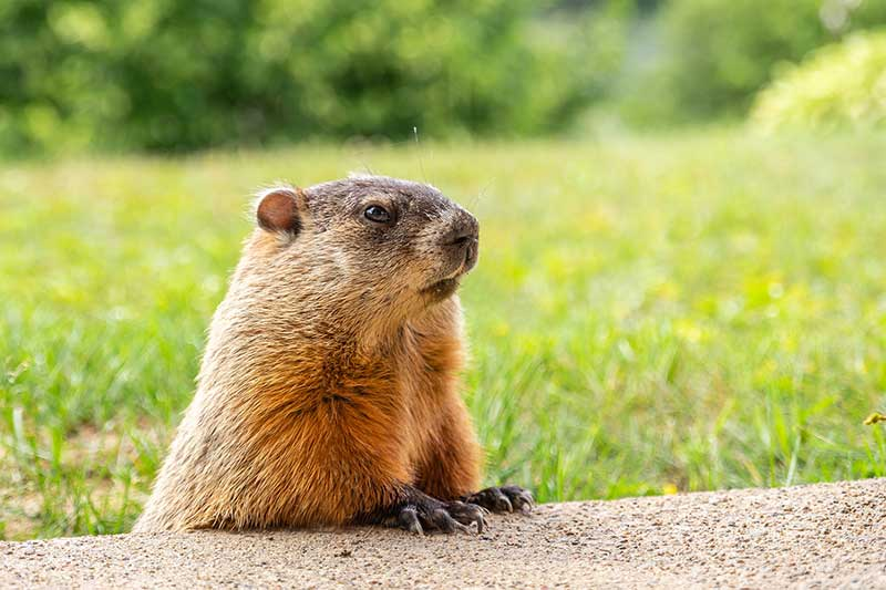 How To Rid Groundhogs From Gardens