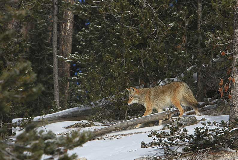 January: Coyote Breeding Season