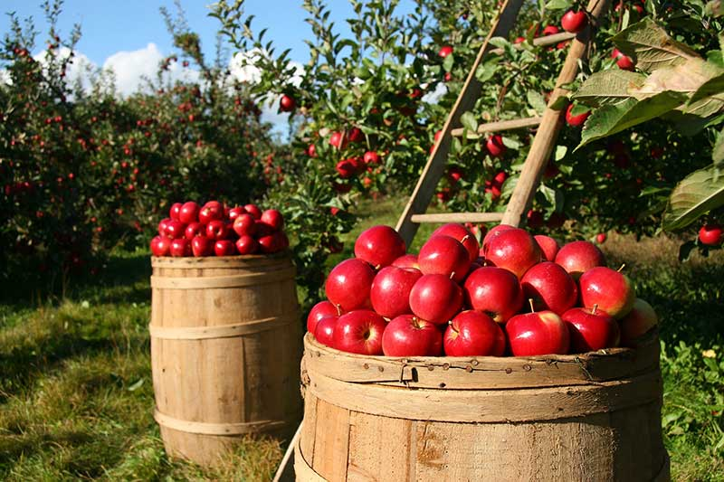 It's National Apple Month
