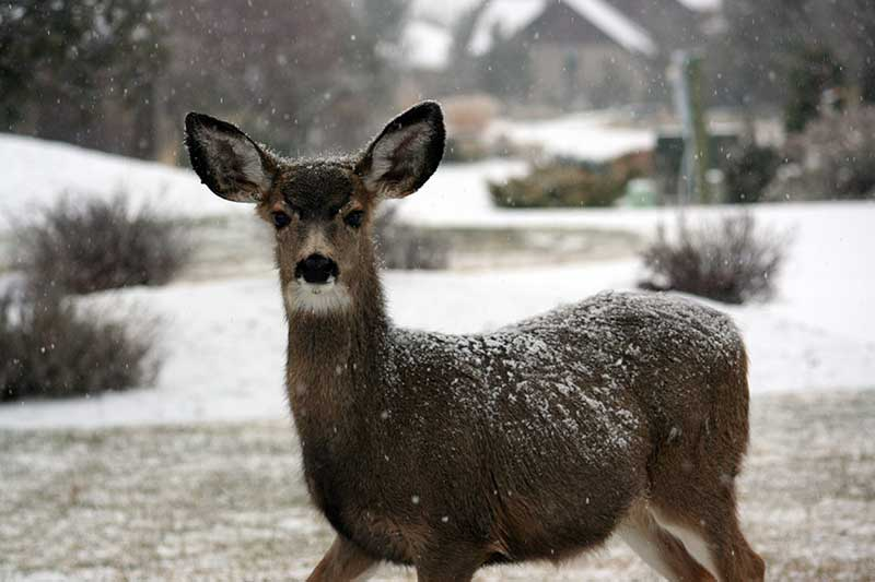 Do Deer Get Cold?