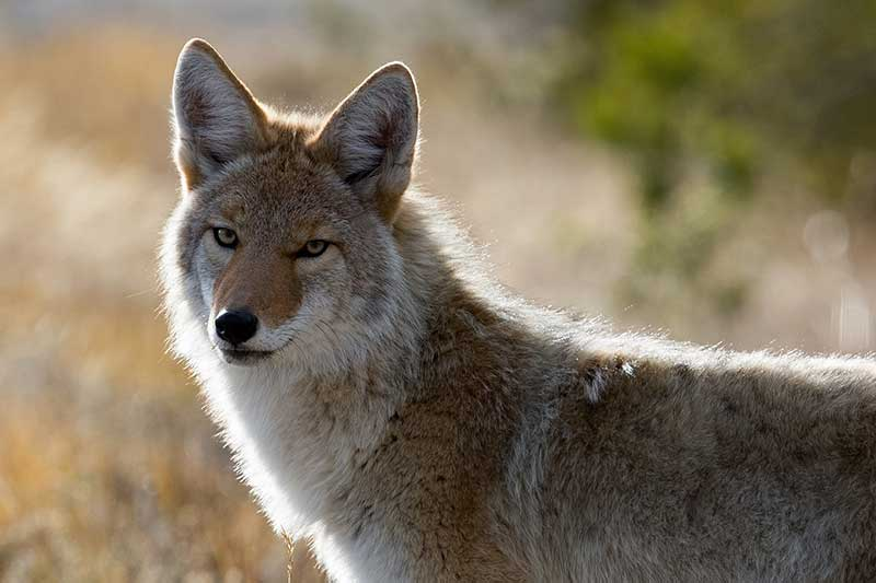 Do Coyotes Play With Dogs?