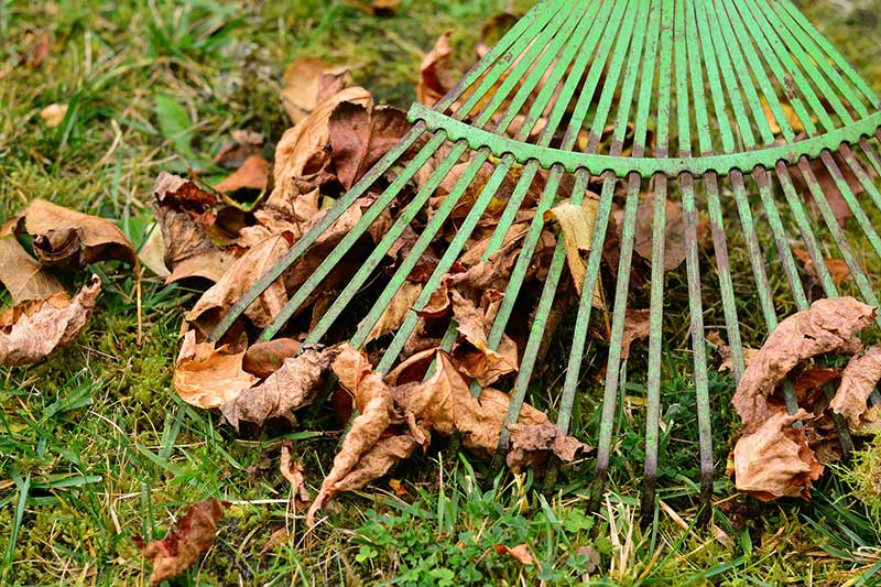 Raking Leaves In Fall