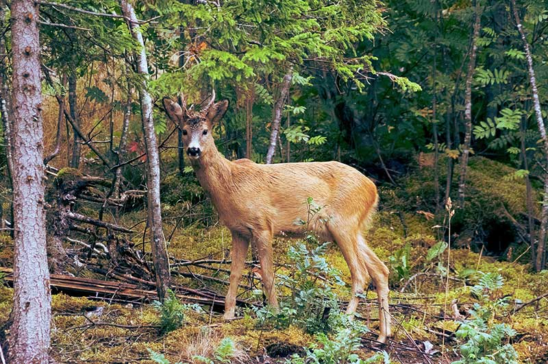 East Coast Deer Likely To Have CWD.