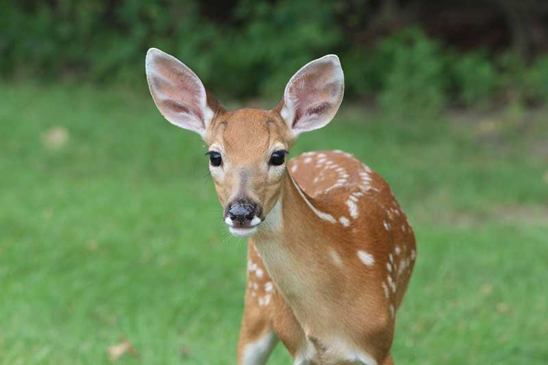 Viral Outbreak Killing Deer.