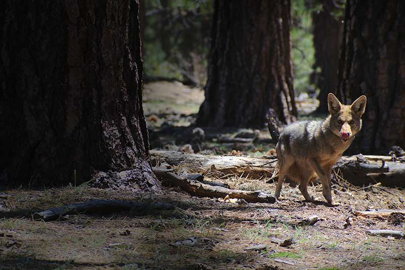 Coyote Breeding Season Continues