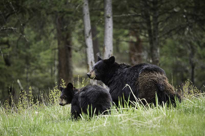 Black Bears In Summer