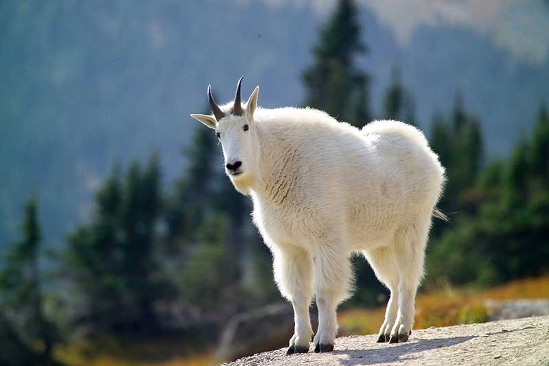 CO: Stop Feeding Mountain Goats