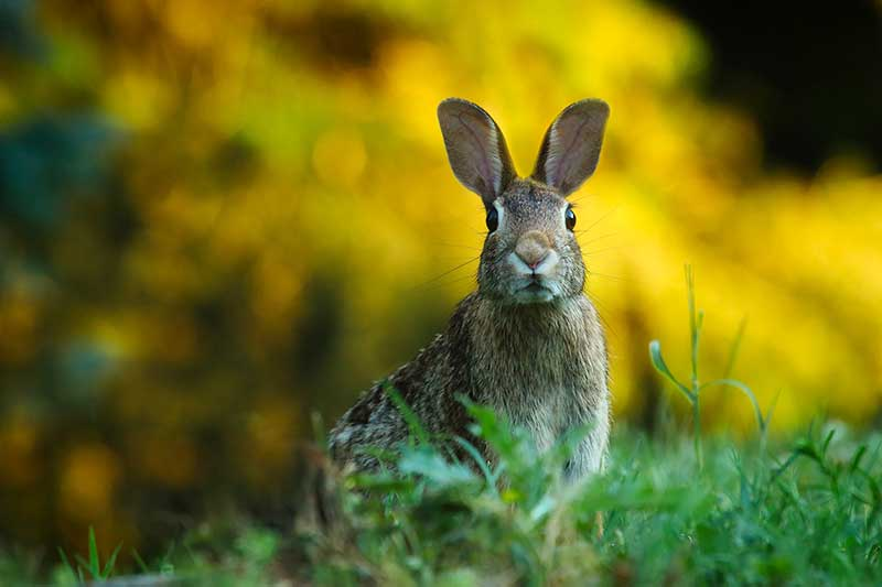 How To Rid Rabbits From Gardens