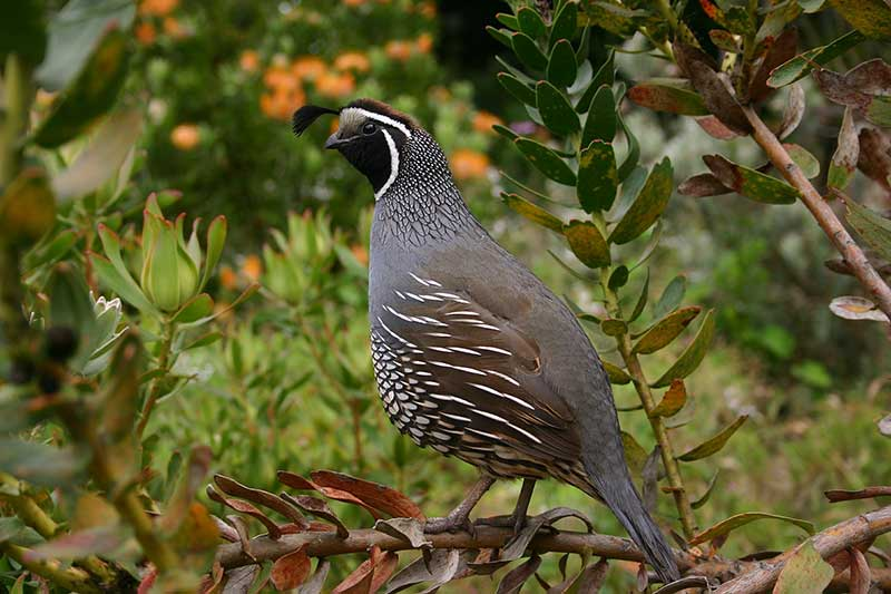 NY: Quails Released To Eat Ticks