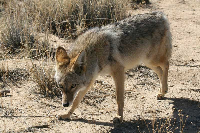 Let's Talk Coyote Movement