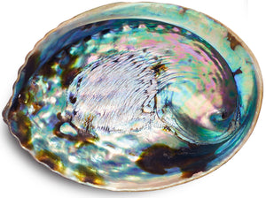 5 & 1/2 Inch Abalone