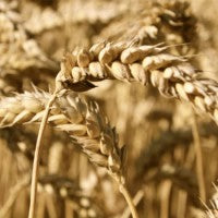 wheat_the_e_grain_image