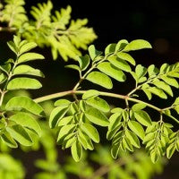 13_health_benefits_of_moringa_image