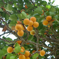 apricots_for_health_image