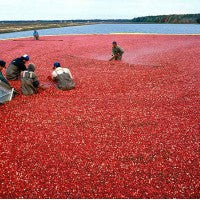 cranberry_harvest_pic