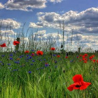 flowers_field_clouds_green_grasses_sky_pic