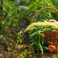 garden_grow_basket_food_produce_vegetables_pic
