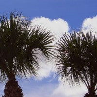 palmetto_blue_sky_pic