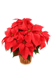 XP 2150 vibrant poinsettia