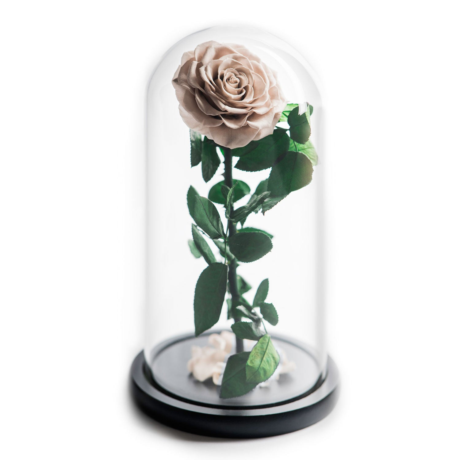 The Beauty and the Beast contains one eternity rose, picked at the point of perfection and preserved to last at least one year. Rose in glass dome