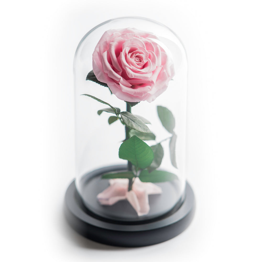 The Beauty and the Beast contains one pink eternity rose, picked at the point of perfection and preserved to last at least one year. Rose in small glass dome